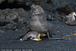 seals having sex with penguins, seal, penguin